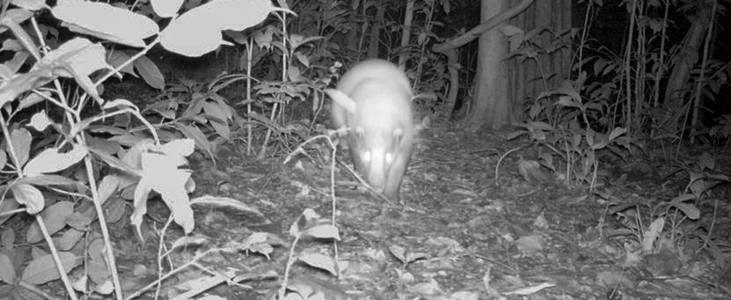 Tracking a hog badger with the help of a camera trap.