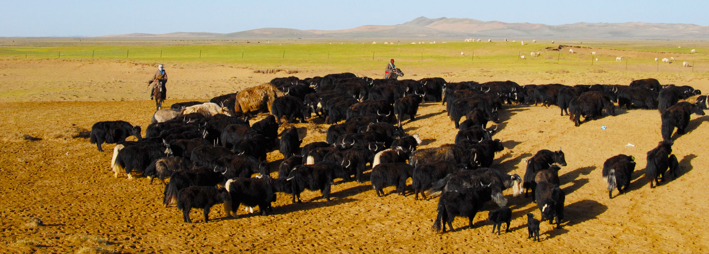 Tibetans herding yak