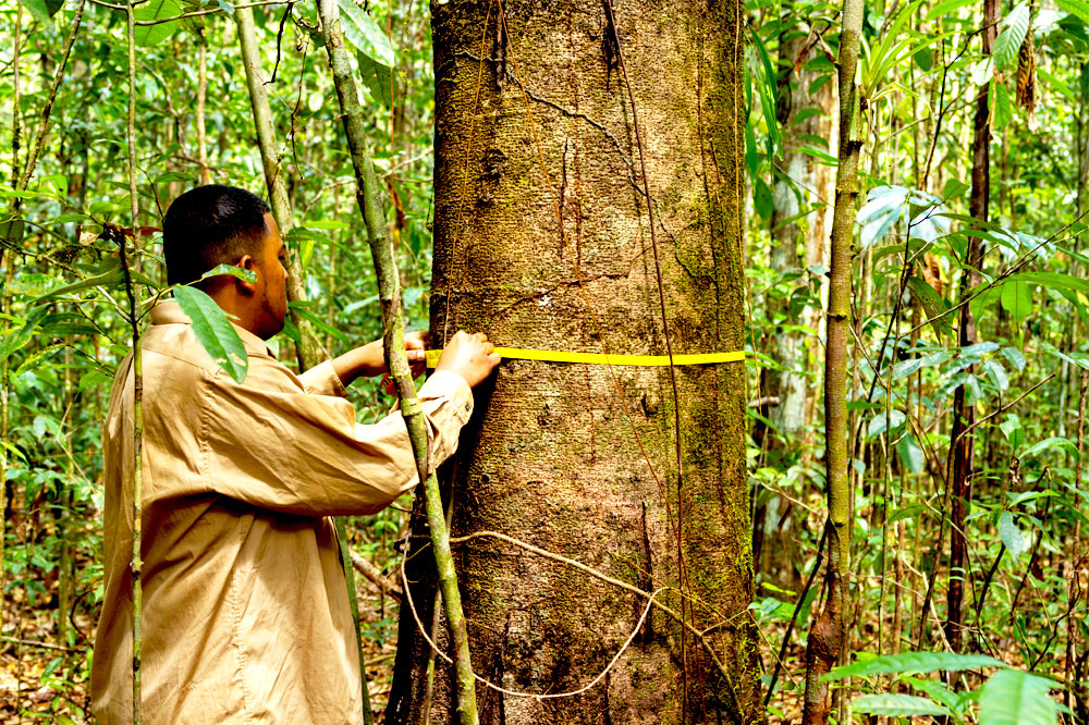 Man measures tree diameter