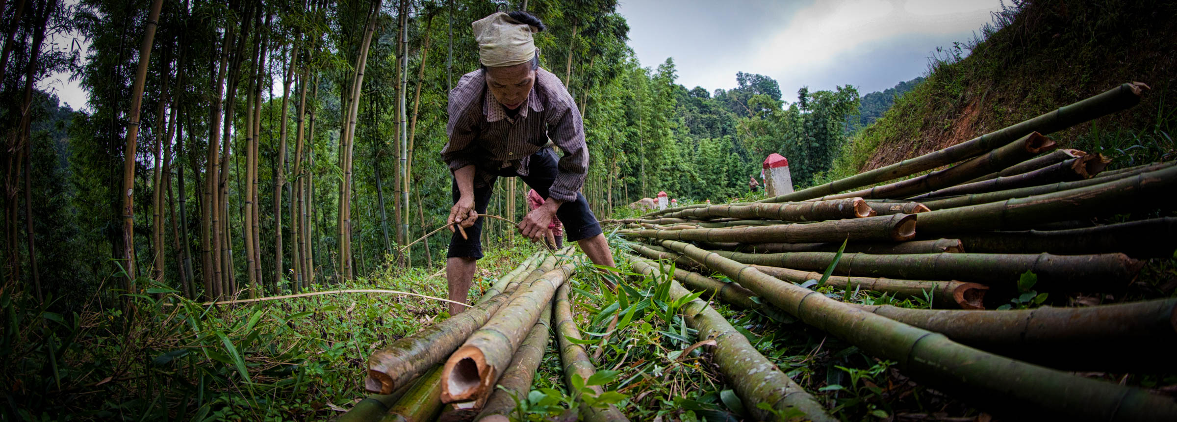 Woman gathering bamboo in forest