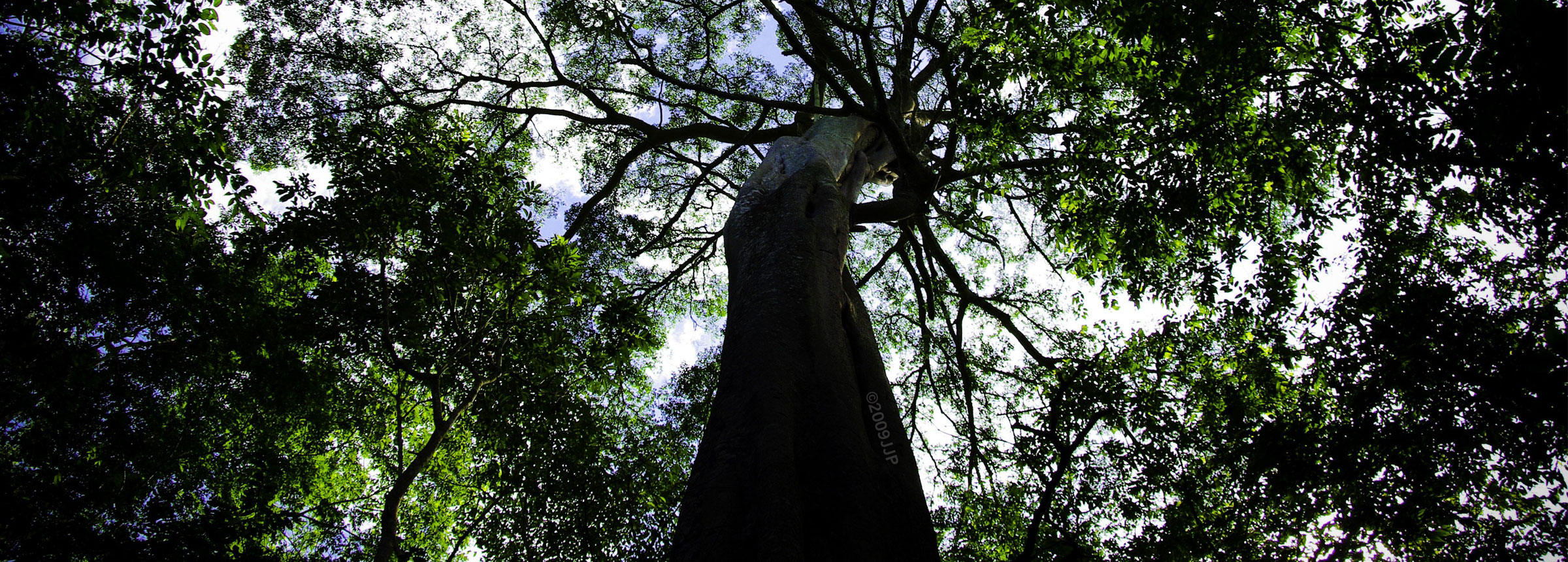 View of forest tree from below