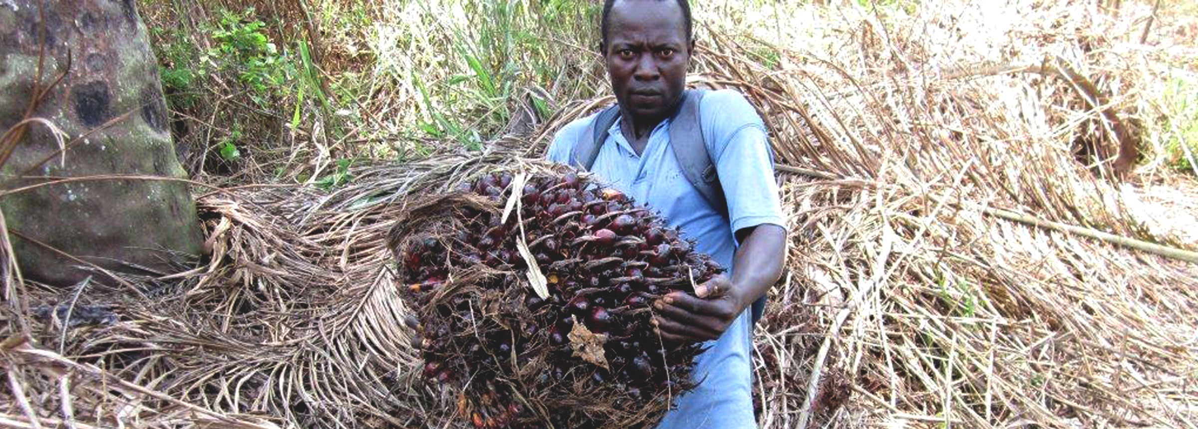Man harvesting palm oil in Liberia
