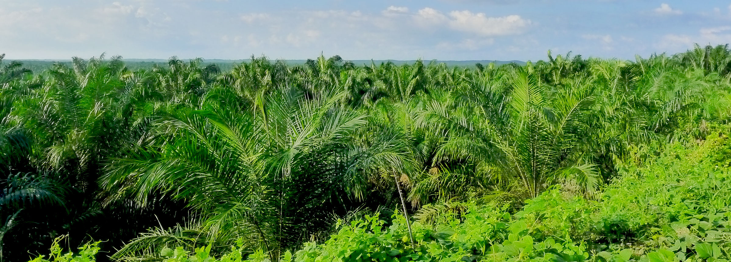 Palm trees in Indonesia
