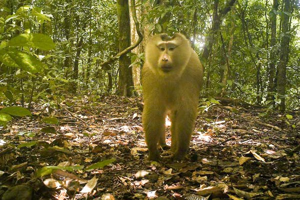 The pig tailed macaque is one of many animals to be found in the Andong Kraloeung.