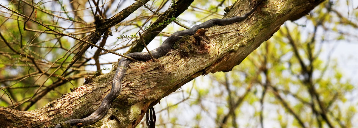 Bayou snake on tree branch,
