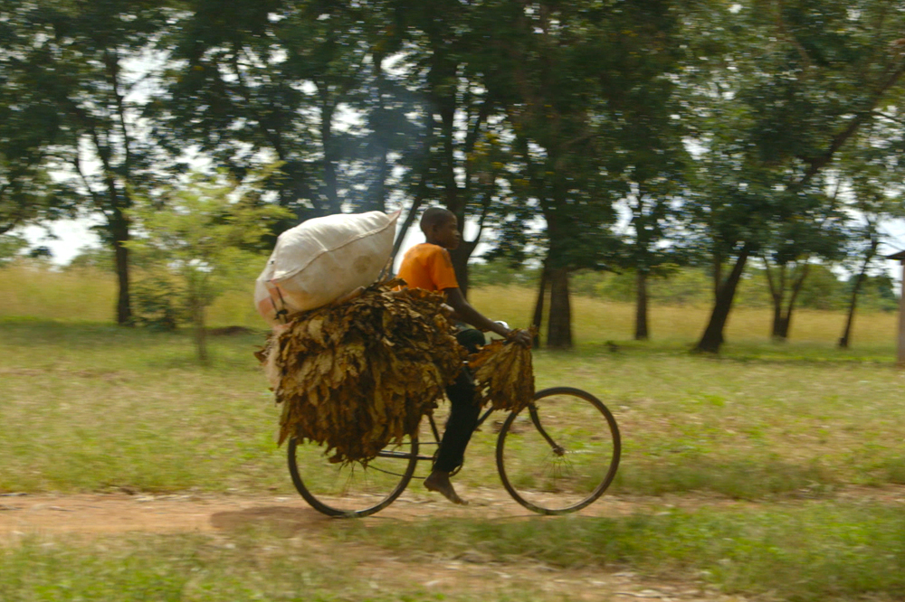 Child on bicycle transporting tobacoo leaves