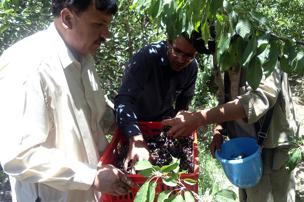 Abdual Qahir (left), president of the Horticulture Growers and Community Development, and two farmers harvest cherries using field boxes introduced by PACCD.