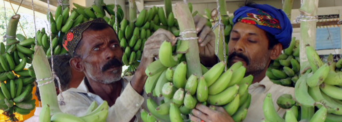 Two farmers with bananas