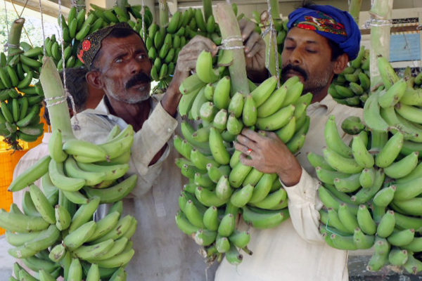 Farmers in Pakistan participate in banana ripening training.