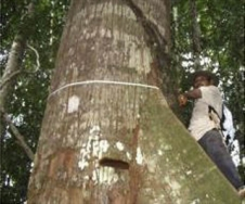 Carbon Impacts from Selective Loggin of Forests in Berau, East Kalimantan, Indonesia