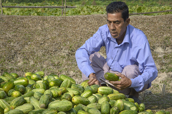 Farmer Gunendra Sen sorts cucumbers grown at his CREL demo farm.