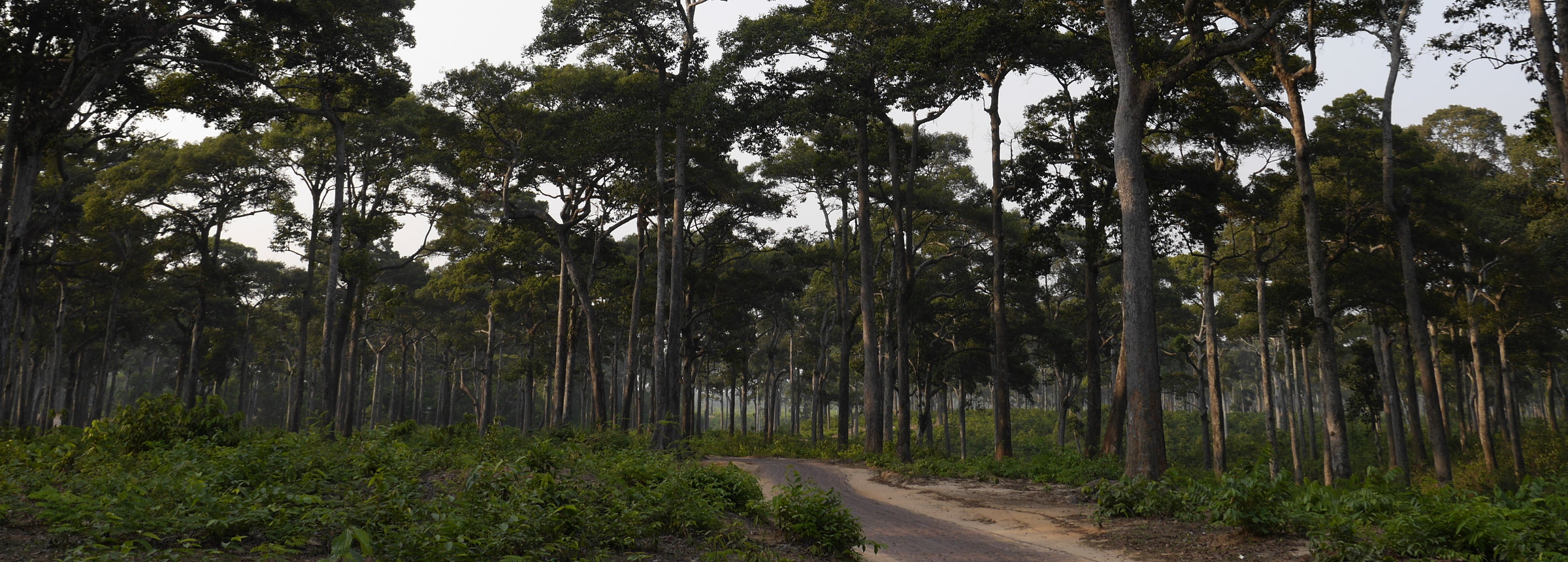 Garjan trees, once widespread in eastern Bangladesh, have since become degraded due to population pressure, illegal felling, encroachment, and erosion.