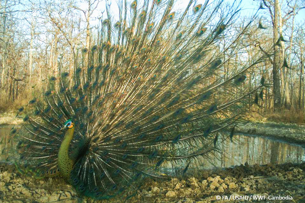 Green peafowl - full display_