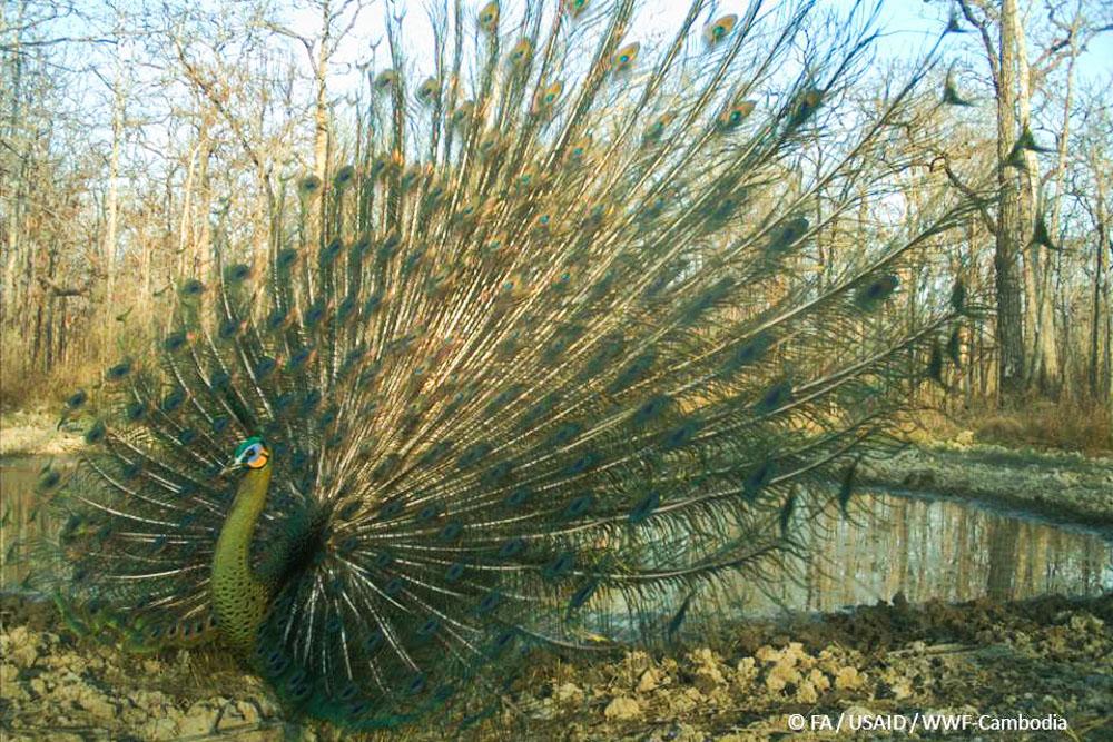Green peafowl - full display_