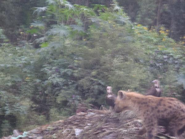 ethiopia-hyena