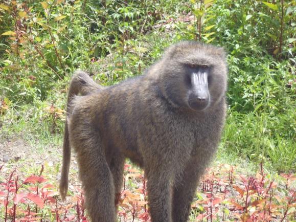 ethiopia-monkey