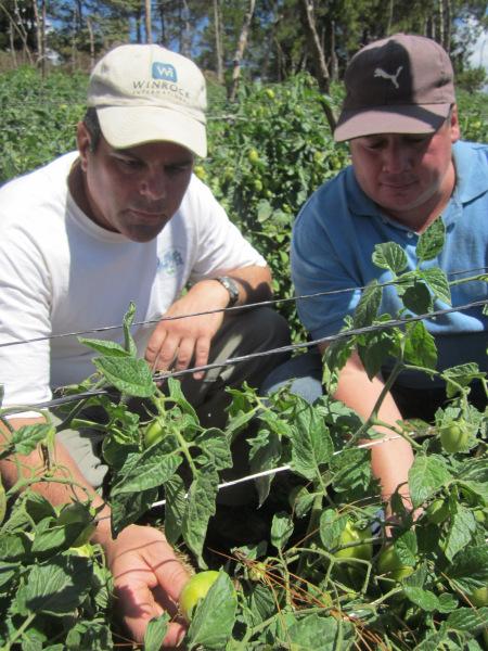 Volunteer Jim Ryan inspecting tomato crops