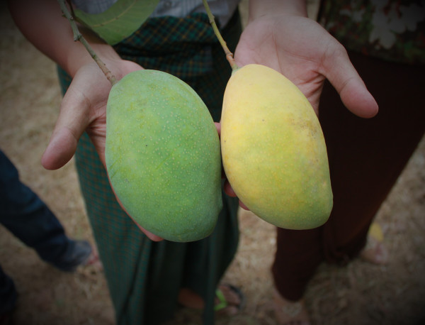 Comparing mangoes that did not employ carbon-paper bags to protect them from fruit flies (green) with bagged mangoes (yellow)