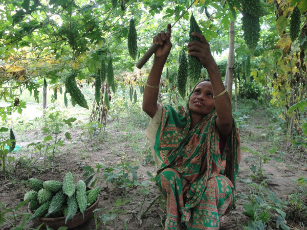In Bangladesh, Farmer-to-Farmer volunteers have trained women farmers on improved vegetable production techniques. As a result, women (like the woman pictured) have been able to successfully grow bitter gourds and vegetables in fallow lands. Their families have reaped the benefits of improved nutrition and increased income.