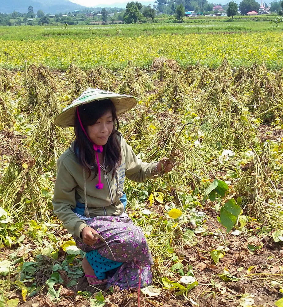 Soybean harvest in Southern Shan.